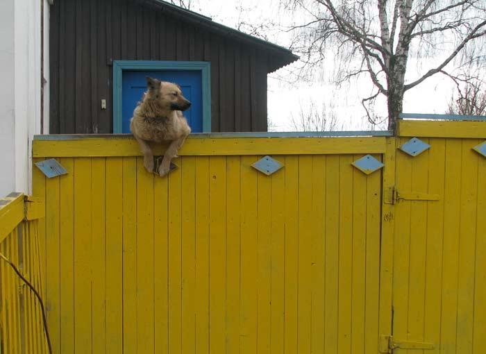 Здесь тоже работает цыганская бригада (в кадр не попала). Собака внимательно за ними наблюдает, как какой-нибудь вертухай